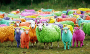 A group of coloured sheep standing in a field and staring at the camera